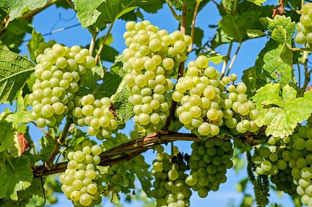 Faites récolter le raisin de votre vigne et vous recevrez une bouteille de vin Bruxellois.